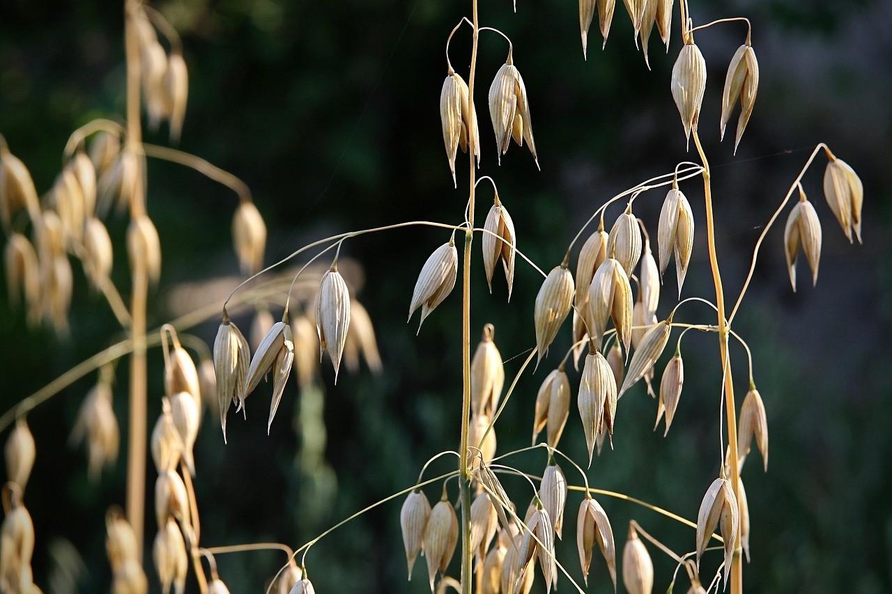 Oat kernels on plant