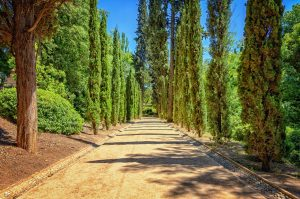 Cypress trees on either side of a dirt road