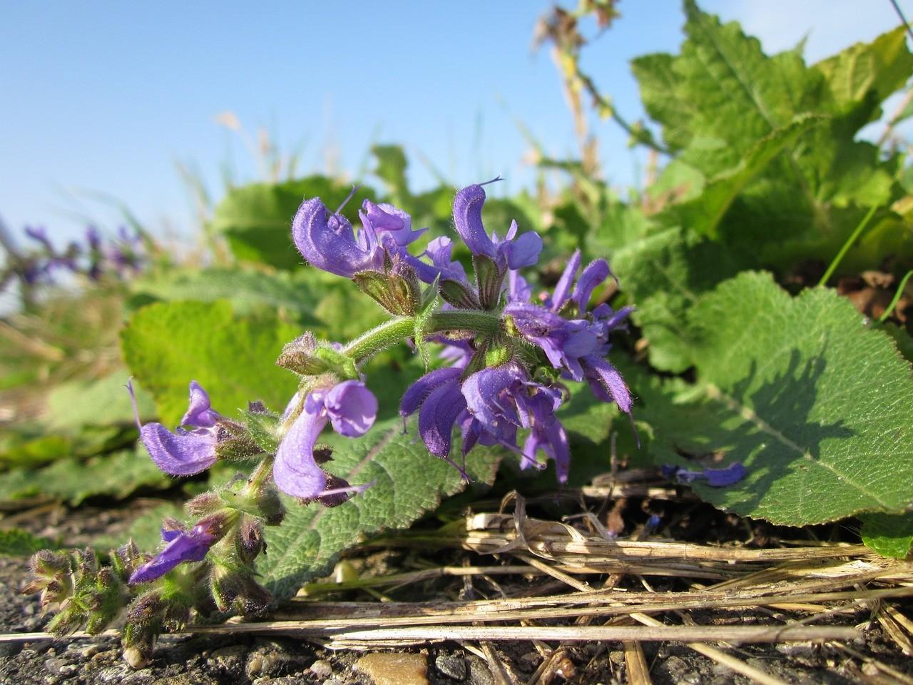 Clary Sage flowers