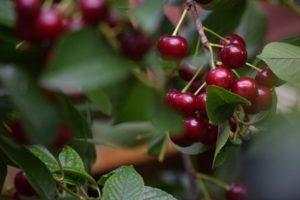 sour cherries on tree